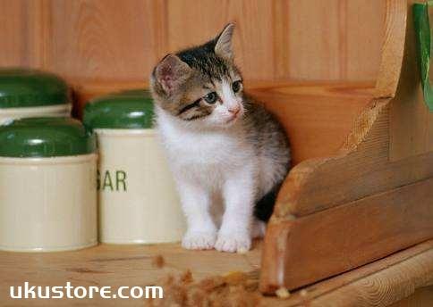 茶杯猫饮食注意什么 茶杯猫饮食注意事项