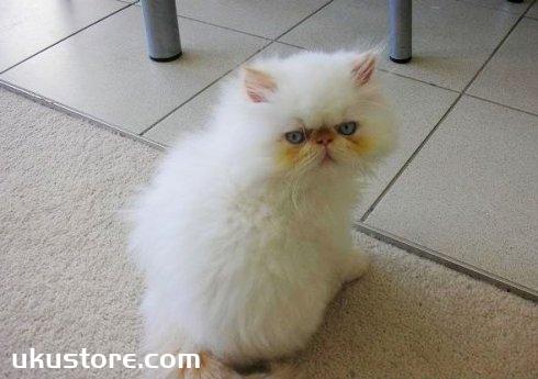 喜马拉雅猫怎么护理 喜马拉雅猫护理方法