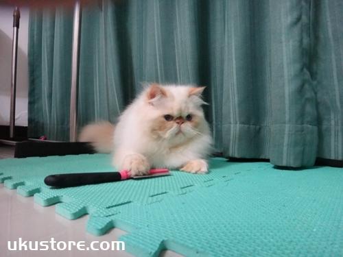 喜马拉雅猫怎么洗澡 喜马拉雅猫洗澡注意事项
