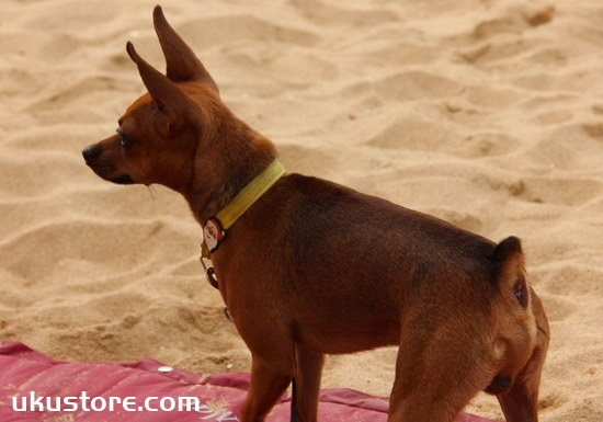 How to train little deer dog, small deer dog training methodillustration1