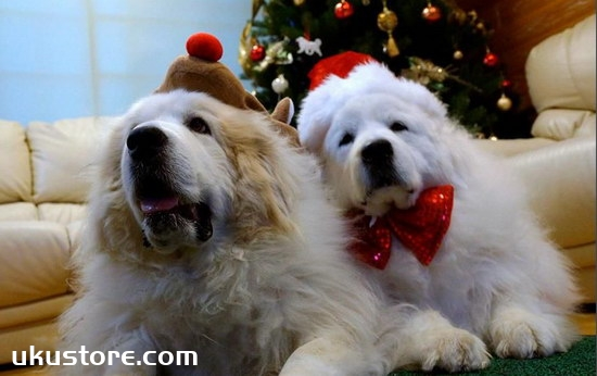 How to train big white bear dogs, how to train big white bear dog skillsillustration1