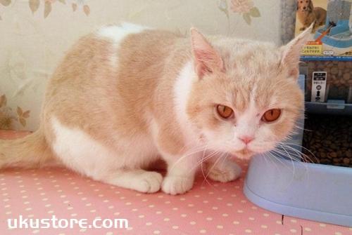 曼基康猫寿命一般多少年 曼基康猫寿命介绍