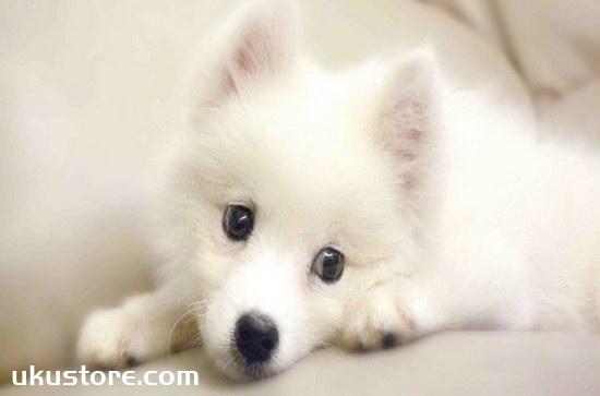 How to train silver fox dog, silver fox dog training methodillustration2
