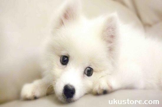 银狐犬怎么养 银狐犬喂养知识1