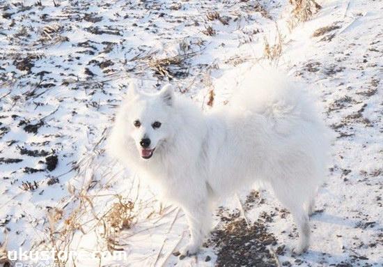 How to train silver fox dog, silver fox dog training methodillustration1