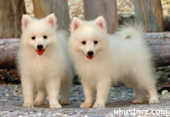 Silver fox dog raises silver fox dog feeding knowledgeillustration1