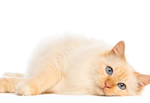 缅甸猫性格怎么样 缅甸猫性格介绍