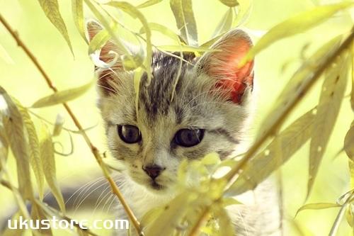 波米拉猫吃什么 波米拉猫喂养知识