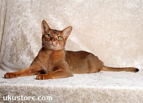 阿比西尼亚猫怎么洗澡 阿比西尼亚猫洗澡注意事项