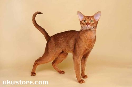 阿比西尼亚猫怎么养 饲养心得分享