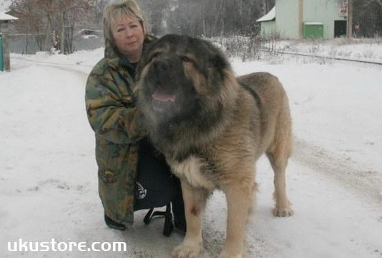 高加索犬怎么训练 高加索犬训练方法1