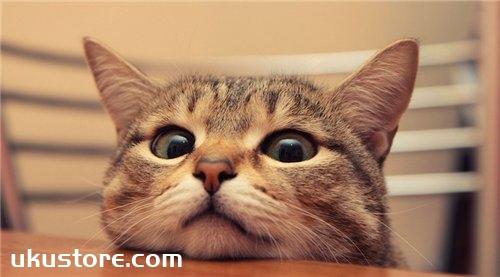 日本短尾猫性格怎么样 短尾猫性格介绍