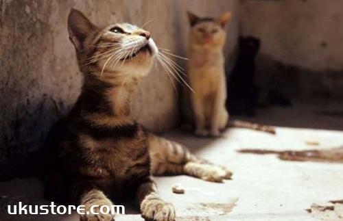 埃及猫如何喂养 埃及猫喂养要点