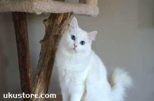安哥拉猫怎么养 安哥拉猫养护心得
