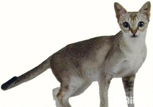 新加坡猫怎么养 新加坡猫养护知识