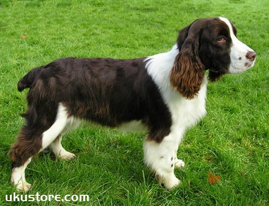 How to train in Shi Bingge, British Binger Dog Training Methodillustration1