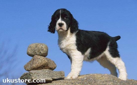 史宾格犬怎么训练 英国史宾格犬训练方法1