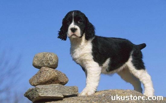 史宾格犬怎么养 英国史宾格犬饲养方法及注意事项1