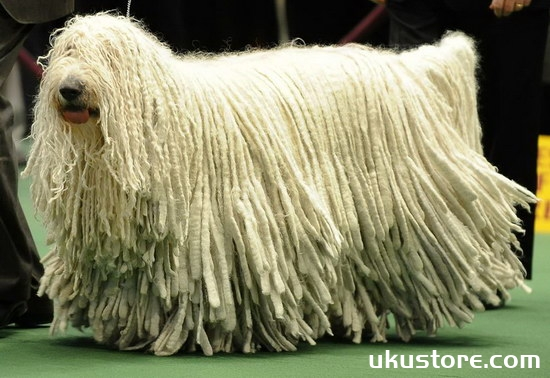 How does Hungarian sheep dog raise Hungarian Shepherd breeding methods and precautionsillustration1