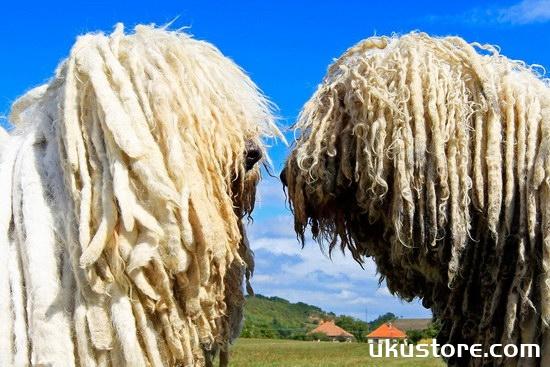 How does Hungarian sheep dog raise Hungarian Shepherd breeding methods and precautionsillustration2