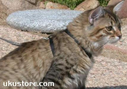 美国短尾猫不能吃什么 美国短尾猫禁食食物介绍
