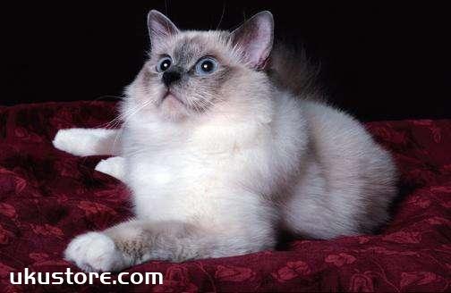 威尔斯猫怎么养 威尔斯猫饲养方法