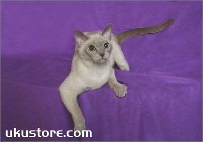 东奇尼猫怎么修毛 东奇尼猫修毛方法
