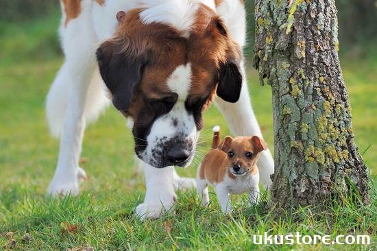 圣伯纳犬怎么养 圣伯纳犬饲养方法介绍1