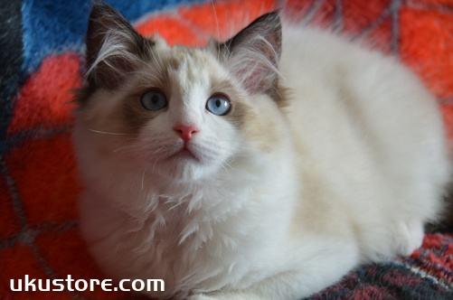 巴厘猫毛发怎么护理 巴厘猫毛发护理技巧