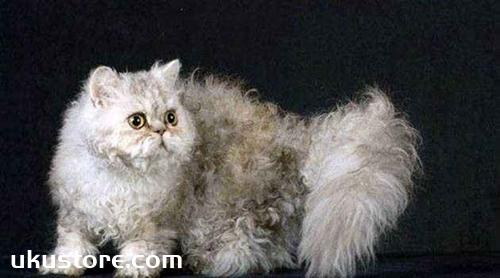 塞尔凯克卷毛猫怎么养 塞尔凯克卷毛猫养护手册