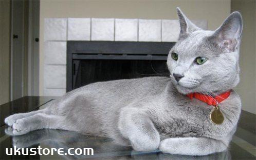 养科拉特猫之前要准备什么 猫咪饲养准备工作