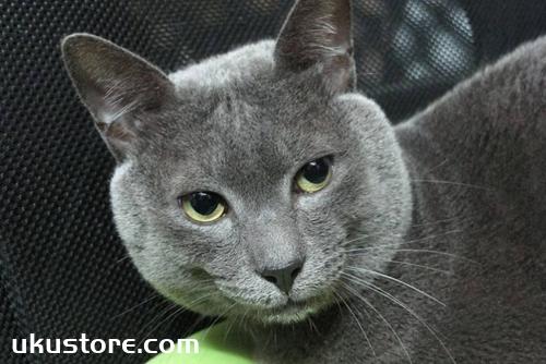 科拉特猫毛发怎么护理 科拉特猫毛发护理技巧