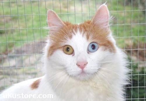 土耳其梵猫怎么养 土耳其梵猫饲养心得