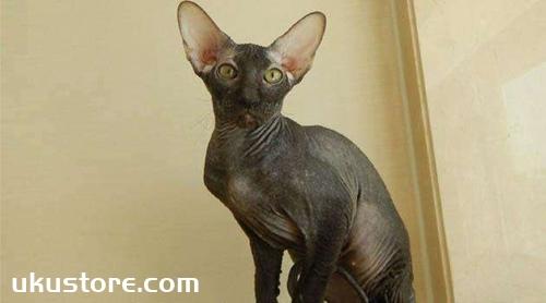 彼得秃猫怎么养 彼得秃猫养护手册