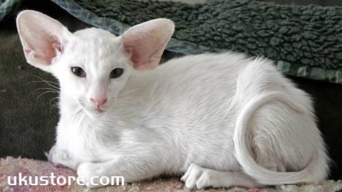 东方短毛猫好养吗 东方短毛猫饲养方法