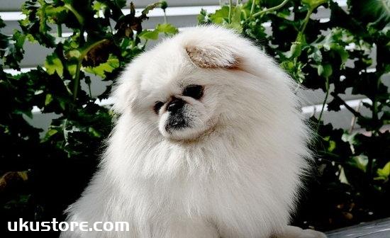 How to train Beijing dog, Beijing dog training tutorialillustration1