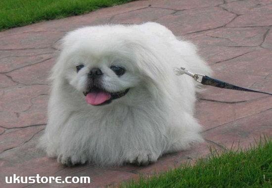 How to train Beijing dog, Beijing dog training tutorialillustration3