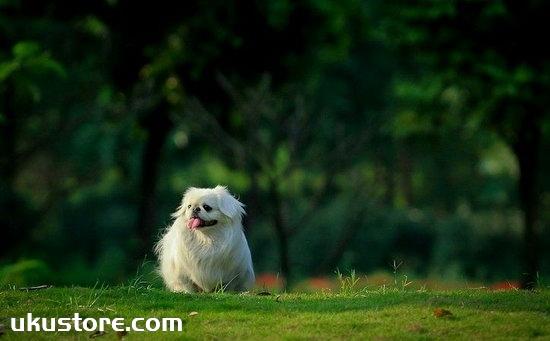 How to train Beijing dog, Beijing dog training tutorialillustration