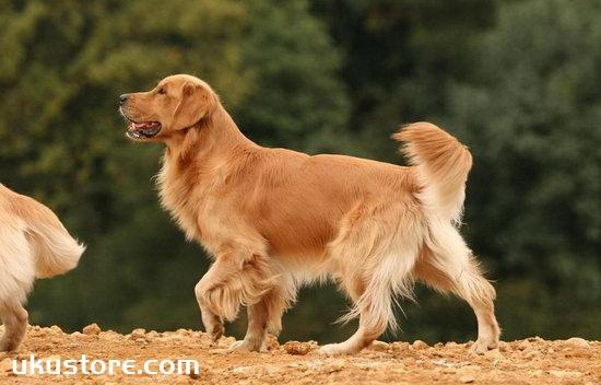 金毛什么时候开始训练 金毛犬最佳训练时间1