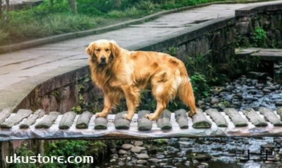 金毛怎么训练捡东西 金毛犬捡东西训练方法 1