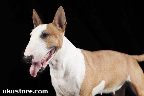 How to train small bulldozers, small Bull Terrier training methodsillustration