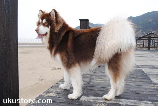 阿拉斯加服从性怎么训练 阿拉斯加雪橇犬服从性训练方法