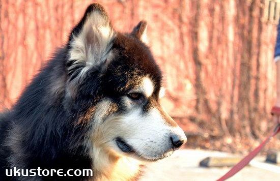 阿拉斯加幼犬怎么训练 阿拉斯加幼犬训练教程1