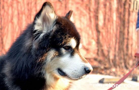 阿拉斯加雪橇犬怎么美容 阿拉斯加美容注意事项
