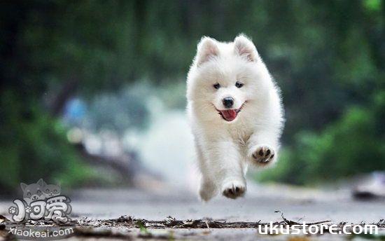 Samoyed puppies how to raise Samoyed puppies and precautionsillustration1