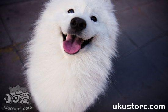 萨摩耶幼犬怎么养 萨摩耶幼犬喂养方法及注意事项1
