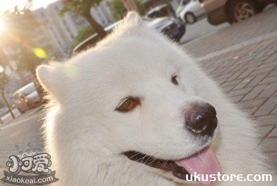 Samoyed puppies how to raise Samoyed puppies and precautionsillustration2