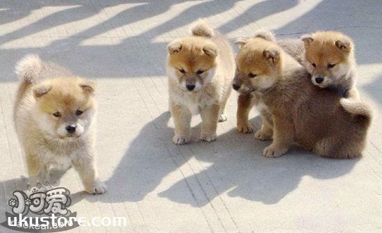 柴犬幼犬怎么训练 小柴犬训练方法1