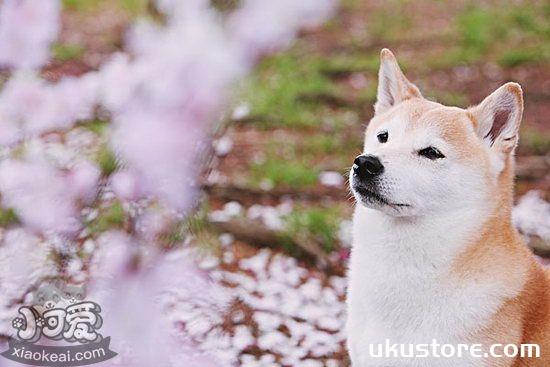 柴犬怎么美容 柴犬美容技巧1