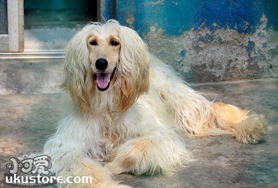 阿富汗猎犬怎么训练不乱吠叫 阿富汗猎犬不乱吠叫训练方法